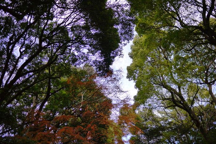 一見すると、東京都心に手つかずの大自然がそのまま残されているように錯覚しますが、鎮守の杜は、約100年前に植樹された広大な人工の森です。