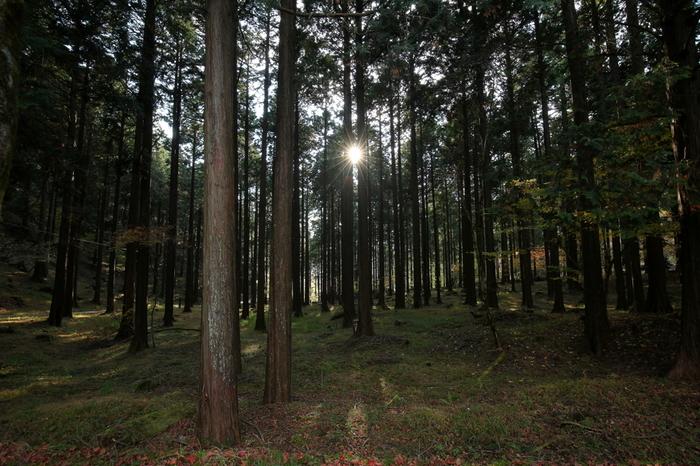 スギ、ヒノキ、イヌブナなどの背の高い樹々が生い茂る西丹沢県民の森は、「かながわの美林50選」、「森林浴の森日本100選」にも選定されています。天を仰ぐほど高くそびえた樹々の間から差し込む木漏れ日を浴びながら、葉摺れの音に耳を澄ませていると、身も心もリフレッシュできることでしょう。
