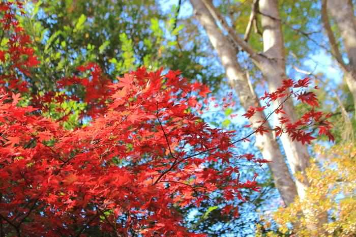 明治の森高尾国定公園に指定されている高尾山の森では、常緑樹と落葉樹がどちらも生息しているため、秋になると樹々が見事に紅葉します。
