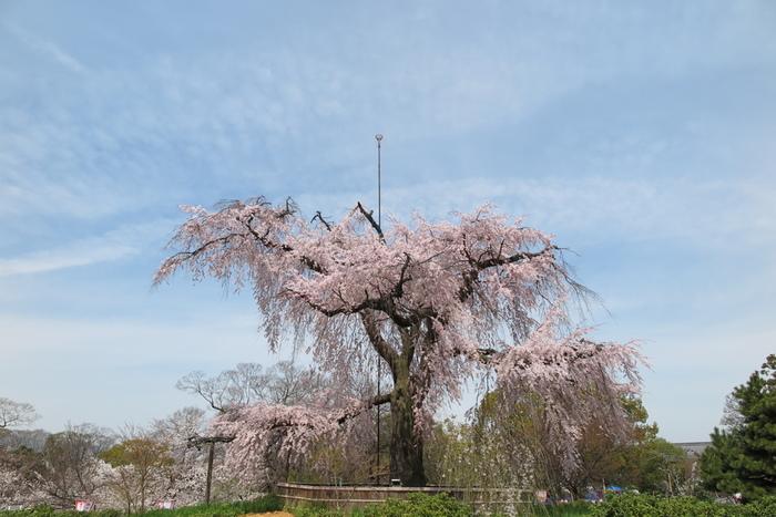 円山公園のシンボル「祇園枝垂桜」は、春が訪れる頃、淡いピンク色をした可憐な花を満開に咲かせます。この時期は、大勢の花見客が祇園枝垂桜の壮麗な姿を見るために円山公園を訪れます。