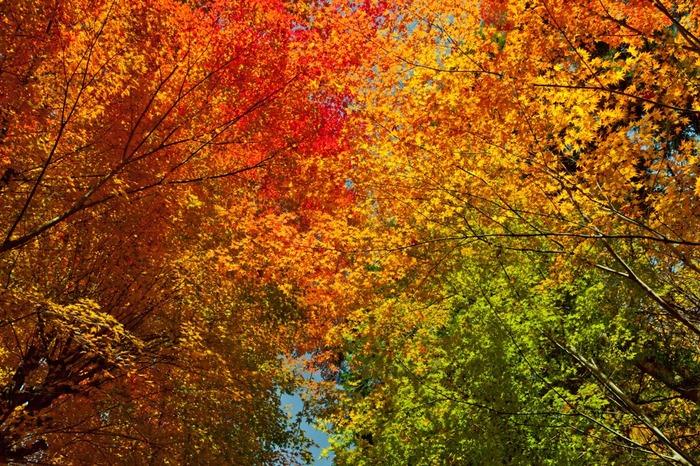 晩秋になると温泉寺境内の樹々が鮮やかに色づきます。目線を上げてみましょう。色とりどりの木の葉が空を覆い、紅葉のトンネルの中にいるような気分を味わうことができます。