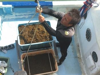 この天然もずくは、久米島のきれいな海で漁師さんが採取しています。よく知っているものより太さがあって、しっかり食べごたえがある、大変貴重なものなんです。パックでお届けになりますので、食べる前にたっぷりの水で塩を流し、20~30分間水に浸して流し洗いをして、召し上がって下さい♪