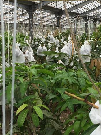 南国沖縄を代表するトロピカルフルーツのマンゴー。久米島マンゴーは美味しく安全に食べられるマンゴーを目指して、自然堆肥と減農薬で育てられます。農園で一個一個袋がけされ、大切に守られながらぎゅっと甘味をたくわえています。