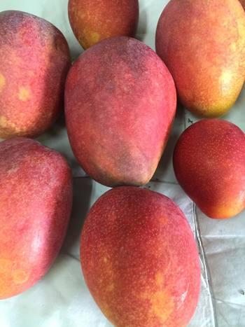 完熟マンゴーは太陽の恵みを受けて、とても美味しそうに色づいていますね。久米島マンゴーは甘味に加えて、適度な酸味も楽しめます。ジューシーな果肉が口の中でとろけますよ!