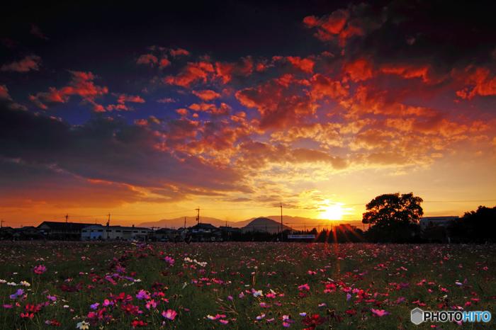 二上山麓には、飛鳥時代の都、大和平野が広がっています。秋になると、山麓の平原いっぱいにコスモスが咲き誇ります。花咲き乱れる平原、沈みゆく夕陽、夕陽を浴びて赤く染まった空と雲が織りなし、夕暮れ時になると、二上山麓では絵葉書のような景色を臨むことができます。