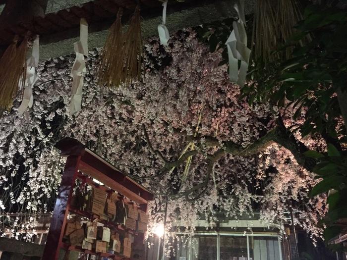 近くには日本最初の天満宮と言われる水火天満宮があり、季節ごとにいろいろな顔を見せてくれます。見頃は春の、桜の頃。ぜひ春にもまた京都に行ってみてくださいね。