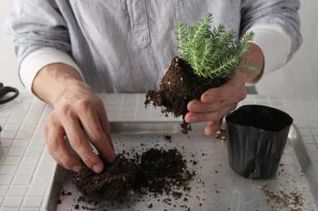 ①はじめに苗をポットから出し、根をほぐしていきます。根の下の絡まりはカットするとほぐれやすくなるそうです。