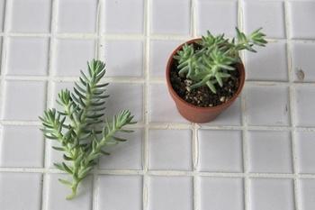 ②イメージに対して植物の大きい部分は暫定していきます。カットした部分は乾いた土に植えておくと根がでてくるので是非育ててみましょう♪