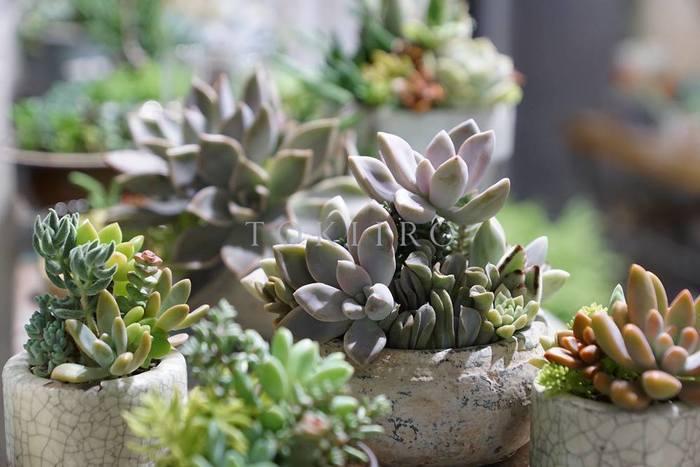 ぷっくりとしたフォルムが魅力の多肉植物。小さな体に水分をしっかり蓄えて丈夫に育ってくれることから、気軽にグリーンを楽しみたい方に人気の植物です。