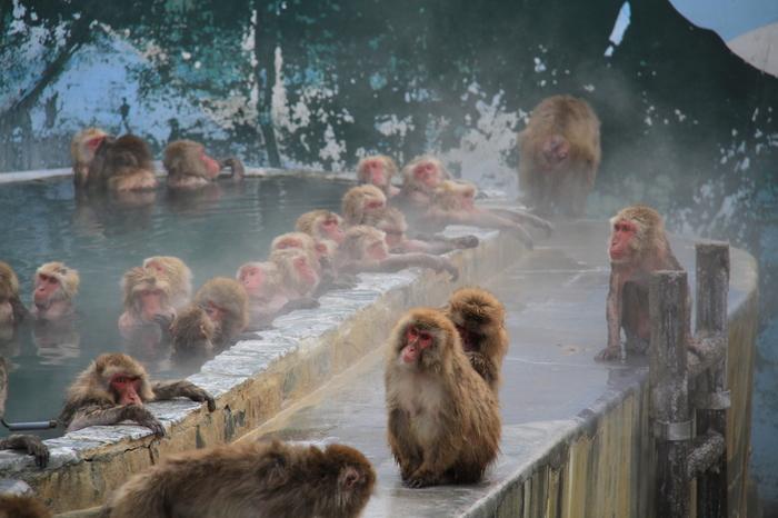 函館市熱帯植物園の名物といえば、「サル山」。冬季(12月〜GW)には、温泉に入ってくつろぐニホンザルが見られます。サルたちに餌やりもできますよ。