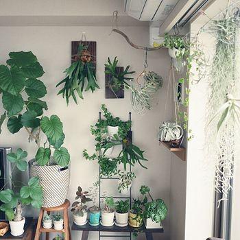 窓辺のウスネオイデス、ビカクシダの板付け、流木、ラダー使いとグリーン愛が溢れるディスプレイ。