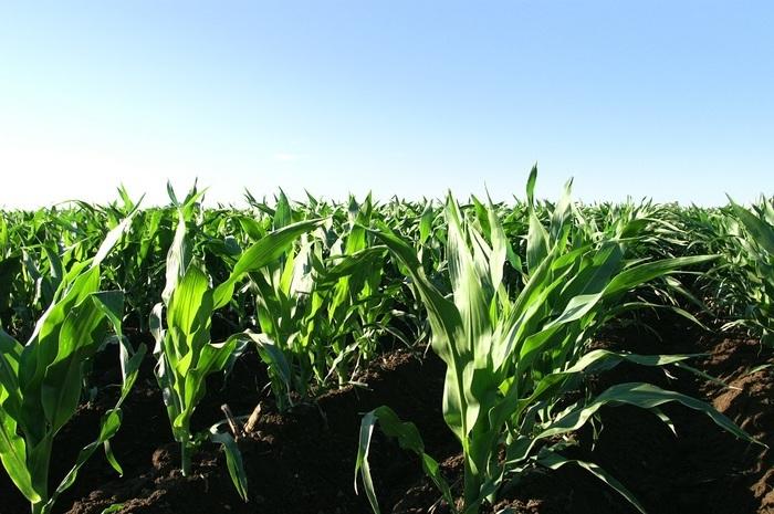 味の違いは飼料の違いから。牧草肥育は、牧草を探して動き回るあいだに肉質が堅くなってしまいますが、アメリカン・ビーフはすべて穀物肥育100%。アメリカ中西部のコーンベルトで収穫された栄養価の高い穀物で育つ牛たちは、風味のよい適度な脂肪のついた、ジューシーで柔らかいチェリーレッドの肉質に育ちます。こうして甘みや香り高いビーフが出来上がるんです。