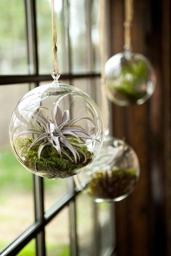 エアプランツをシャボン玉のような丸いガラスにいれると、ぽってり可愛いらしい雰囲気に。