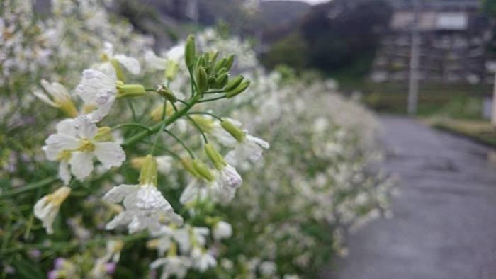 写真の浜ダイコンの花は梅雨時に見頃を迎え、その後「ヒルザキツキミソウ」というかわいいピンクの花に入れ替わるそうです。春と秋にはアサキマダラという渡りの蝶もみかけることができます。