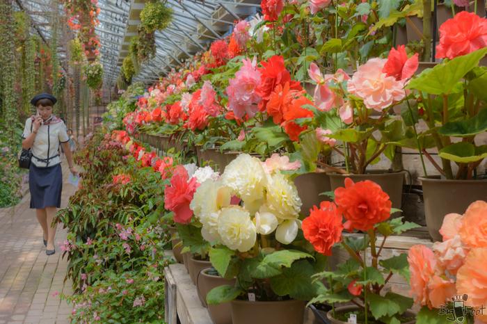 直径30cmもの大輪の花を咲かせる球根ベゴニアは、富士花鳥園が何年もの歳月をかけて改良を繰り返した品種です。色とりどりの球根ベゴニアがずらりと並ぶ様子は、訪れる者を圧倒します。