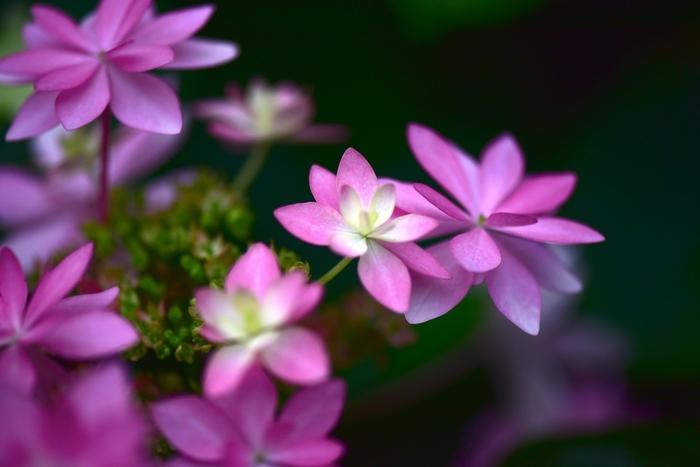 富士花鳥園では、年間を通して紫陽花を観賞することができます。
