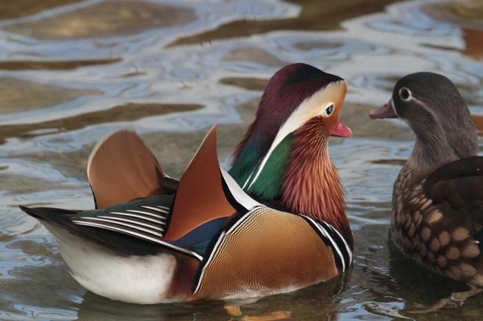 水鳥の池では、白鳥、カモ、アヒル、オシドリといった水鳥たちがのんびりと泳いでいます。美術品のように美しいオシドリの雄が、愛しい妻を優しいまなざしで見つめる様子は、きっと訪れる人々を癒してくれるはずです。