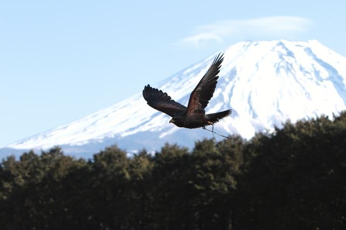 屋外バードショーでは、富士山を背景によく訓練されたハヤブサが宙を舞います。冠雪した富士山、力強く羽ばたくハヤブサ、山麓の森、青い空が織りなし、江戸時代に活躍した絵師・葛飾北斎が描いた浮世絵、「富嶽三十六景」が眼前に現れたような錯覚を感じます。