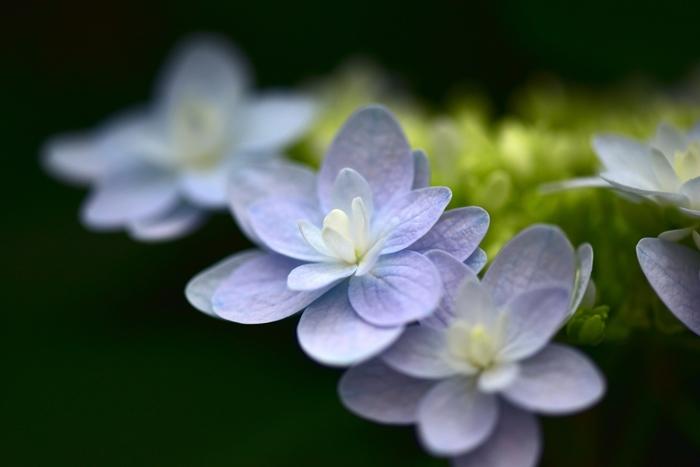 普段よく見かける紫陽花よりもずっと美しい富士花鳥園で栽培されている紫陽花は、花の売店で販売されています。