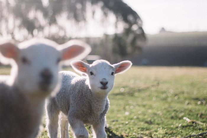 クリッパンのウールケットに使用されるのは厳選されたニュージーランド産のエコウール。生後6か月以内の羊から取れる柔らかなウール100%でつくられています。厳しい環境基準に基づいた、有害物質を含まないエコウールを使用しているので、赤ちゃんや子供でも安心して使うことができます。