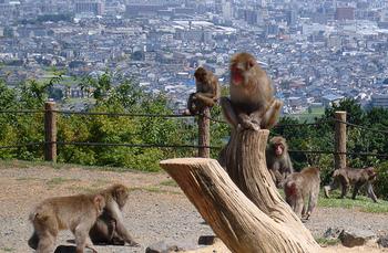 岩田山にある広大な敷地面積を誇る「野猿公園」では、野生のニホンザルの群れを間近で観ることができる他、京都市街地が一望でき、紅葉も見事。