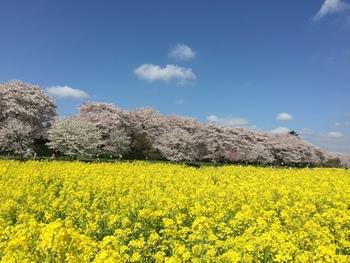 春の桜と菜の花、紫陽花や曼珠沙華など四季折々の美しい花景色を堪能できることで知られています。※写真は春の権現堂。桜のピンクと菜の花の黄色、そして空の青・・・毎年多くの人が訪れる人気のスポットです。