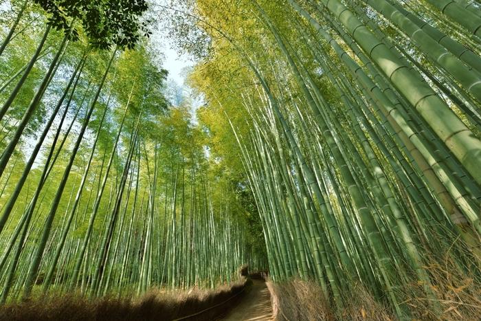 """竹林は年中楽しめますが、一般的に""""竹""""の見頃は秋。「竹の秋」といえば""""春""""の季語であるように、竹にとって""""春""""は筍(実り)の季節。筍を成長させるのに栄養がとられた竹は、初夏になると黄色く色づいて落葉します。 【画像は、5月中旬の頃の竹林の道。】"""