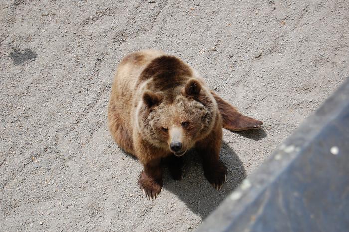 伝承によると、ベルンという街の名前は、熊に由来すると言われています。そのため、ベルン市内にある熊公園では、市の紋章にもなっている熊が数多く飼育されています。