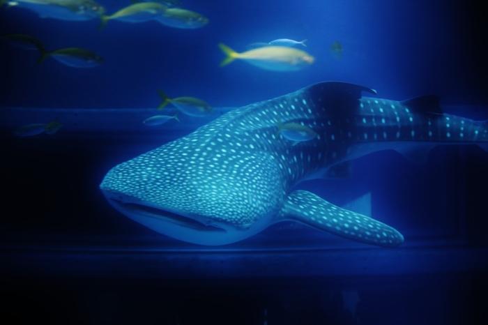 海遊館最大のみどころは、やはり太平洋に生息する生きものたちの展示ゾーンです。巨大な水槽の中を自由自在にゆったりと泳ぎまわるジンベエザメの大きさには圧倒されることでしょう。