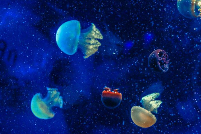 ふわふわクラゲ館では、約600匹のクラゲが展示されています。ライトを浴びて輝きながら泳ぎ回るクラゲの姿は美しく、神秘的な雰囲気を醸し出しています。