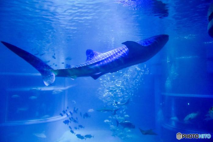 魚としては最も大きい生きものであるジンベエザメ。迫力あふれる外観とは対照的に、極めて温厚な性格のジンベエザメはプランクトンや海藻などを主食とする魚です。ジンベエザメが泳ぐ巨大な水槽に、様々な種類の魚たちが仲良く一緒に共存している様は、ジンベエザメの温和な性格を物語っているかのようです。