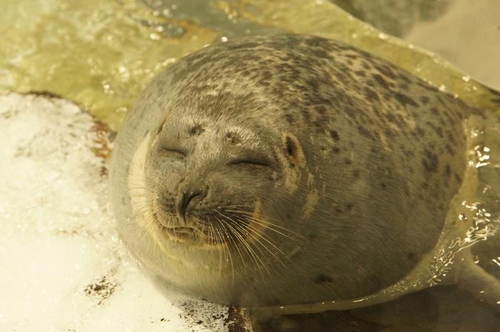 海遊館には数々のアザラシが飼育されています。気持ち良さそうに昼寝をしている愛らしいアザラシに癒される人も多いのではないでしょうか。
