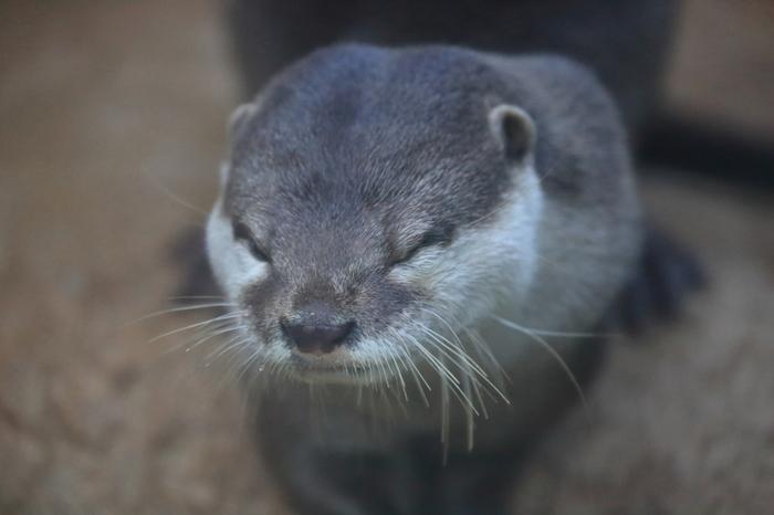 ぬいぐるみのような愛らしい姿をしているコツメカワウソは、東南アジアの河川周辺に住む動物です。海遊館では、野生のコツメカワウソの生態環境がそのまま再現されており、昼寝をする姿や、川の中で素早く泳ぐ姿など、カワウソたちの様々な表情を見ることができます。