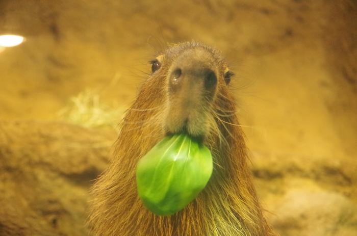 カピバラは、アマゾン川流域などの熱帯雨林の川辺に住む動物です。大きな身体をしたカピバラですが、実はネズミの仲間です。つぶらな瞳・大きな鼻・おっとりとした動作は、訪れる人々を笑顔にしてくれます。