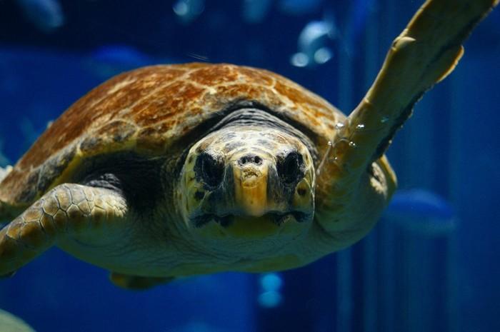 南太平洋のクック海峡ゾーンでは、甲長さ1.2メートルのアカウミガメが優雅に泳ぎ回っています。色とりどりの魚たちと一緒に大きなアカウミガメが泳ぐ様子は、まるで竜宮城のようです。