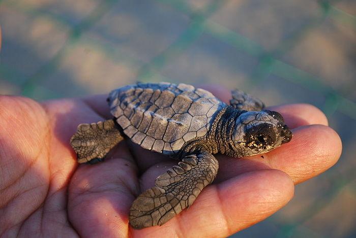 ちなみに、アカウミガメの赤ちゃんは手のひらにも満たない大きさです。こんなに小さくて可愛らしい赤ちゃんウミガメは一生懸命海の中を泳ぎ回り、大人になるころは甲羅だけで1メートルを超すほどの大きさになるまで成長してゆくのです。