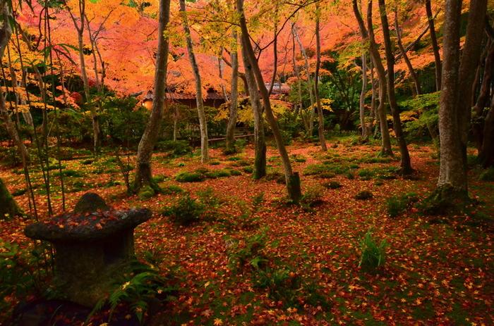 晩秋の頃、モミジ葉が苔庭を覆い尽くした様は、この世のものとは思えないほどの美しさ。【画像奥は、本堂(草庵)。】