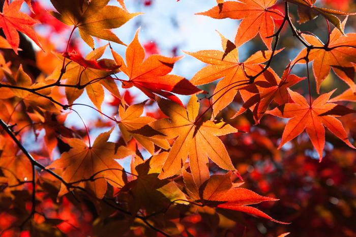 箱根湯本駅から、箱根登山鉄道に乗って、いざ箱根の旅に出発してみませんか。車窓からは、秋ならではの紅葉も楽しめ、一石二鳥です。