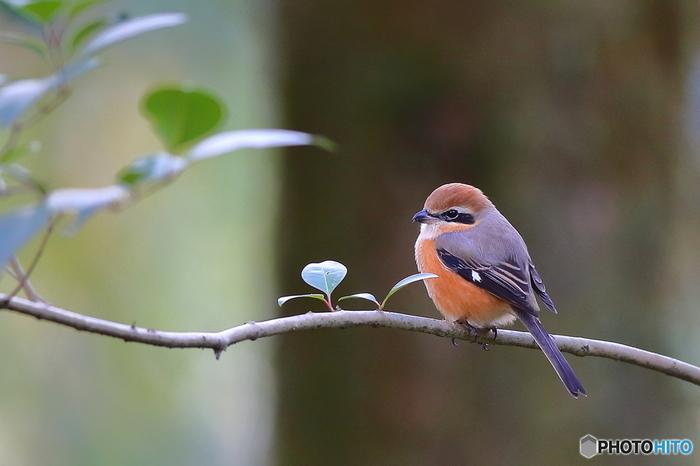 こちらはモズ(百舌鳥)。北海道から本州まで幅広く見ることができます。かわいらしい鳥ですが、行動は肉食系。とらえた虫などを枝や有刺鉄線などに刺す「はやにえ」をする習性があります。