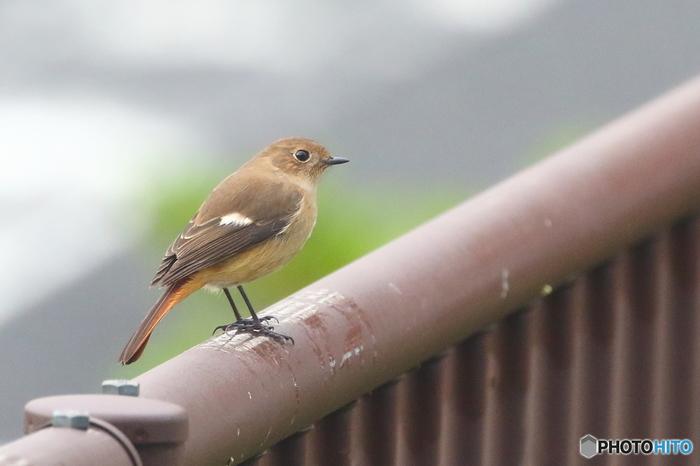 丸い瞳がかわいらしいジョウビタキ。根雪の降らない地域に飛来するため、関東以南で10月〜3月頃にかけて多く見ることのできる渡り鳥です。オスは胸から腹にかけての橙色が特徴とのことなので、こちらは雌でしょうか。
