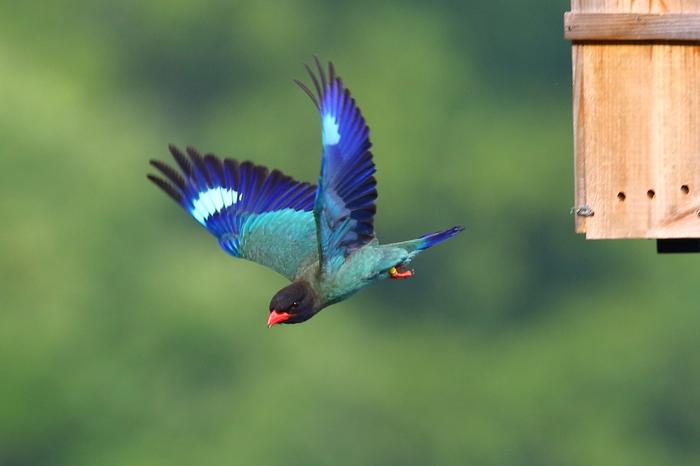 ブッポウソウは、5月から8月にかけ、九州〜本州の山林に飛来します。碧色の体、白い斑点の入った瑠璃色の羽根、赤いくちばし…鮮やかな色彩は「森の宝石」と呼ばれます。