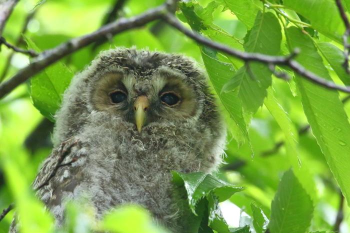 手軽に見られる鳥ではありませんが、いつか出会ってみたいのが、森の守り神のようなフクロウ。北海道のほか、長野県や栃木県などで観察されているようです。