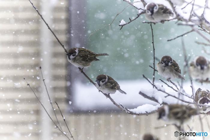街で見かけるもっとも身近な鳥のひとつがスズメ。冬には、羽毛をふくらませて寒さをしのぐ「ふくら雀」の姿がかわいいですよね。「福良雀」「福来雀」などの字をあてられたり、また和服の帯結びにも、振袖などに使われる「ふくら雀」という結びがあったりと、縁起がよく、めだたい鳥として愛でられています。