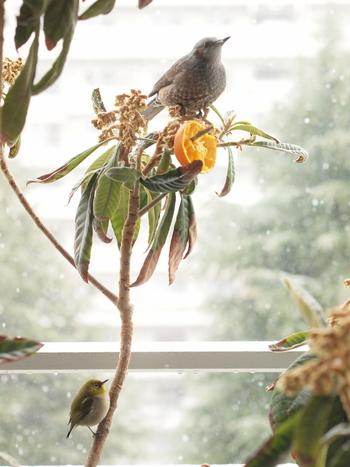 果物も鳥が喜ぶ餌のひとつです。みかんをそのまま枝に刺したり、柿やリンゴなどを餌台に載せることも。転げ落ちないように、割り箸などに刺して固定するのがコツです。