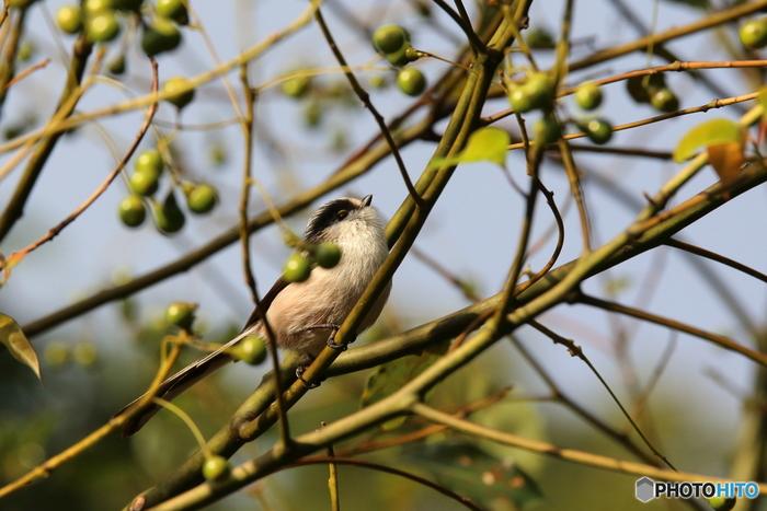 野鳥たちに出会うには、わざわざ遠くに行く必要はありません。身近な公園など自然のある場所には、その環境に適した鳥達が生息しています。こちらのエナガは、大阪・枚方市の山田池公園で撮影されたそうです。