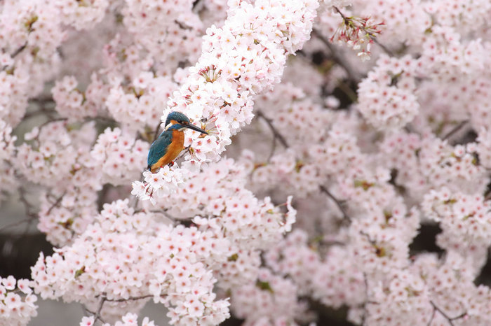 水辺の鳥といえば、青色の背とオレンジ色の腹が鮮やかなカワセミ。水に飛び込み魚を捕らえるダイナミックな姿を狙う写真愛好家も多くいます。こちらは春に撮影されたカワセミ。けむるような淡いピンクと瑠璃色の羽根のコントラストが美しいですね。