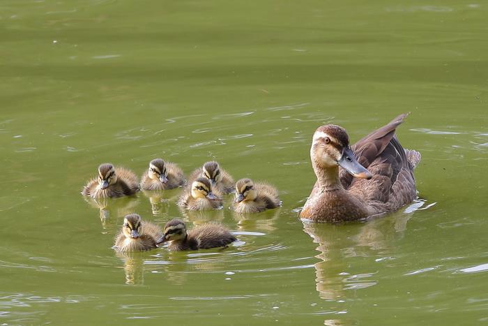 公園の池やお堀などで見られるのがカルガモ。年中見ることが出来ますが、特に5〜7月頃は子育ての季節。小さな子ガモを従えて泳いだり歩いたりと、かわいい姿を見せてくれます。