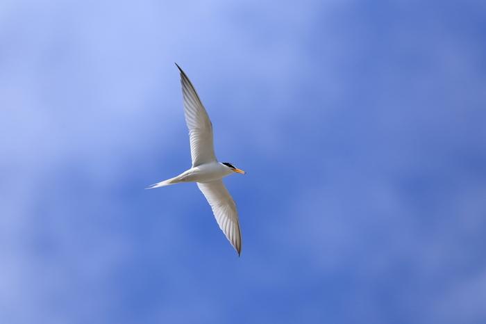 川や湖だけでなく、海辺でもいろいろな鳥に出会うことができます。こちらはコアジサシ。白いツバメのようにも見えるスマートな姿と、俊敏に飛ぶ姿がかっこいい鳥です。