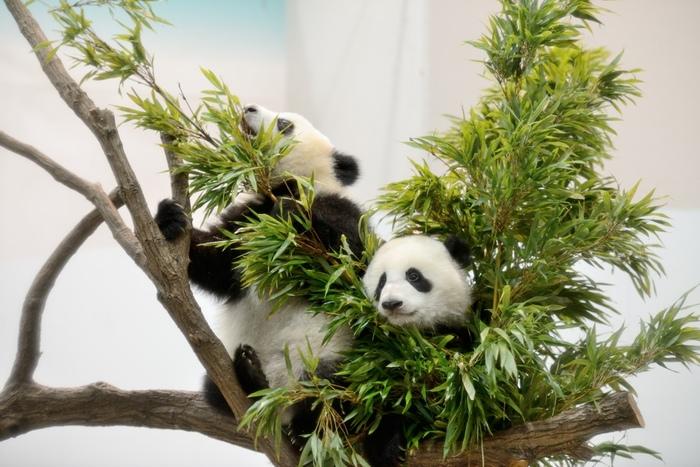 元気いっぱいのパンダの子供たちは、少し大きくなると木登りも上手になります。地面でじゃれ合う姿も愛らしいですが、木の上でのんびりくつろぐ姿も可愛らしいですね。