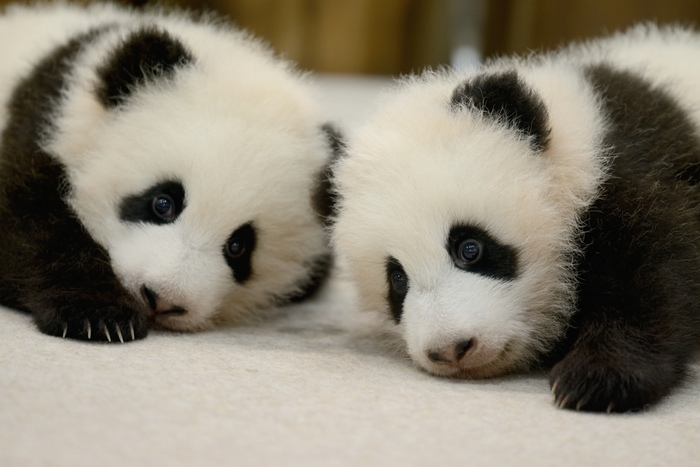 思わず抱きしめてみたくなるほど可愛らしい赤ちゃんパンダ。ぬいぐるみのような姿は訪れる人を笑顔にしてくれます。